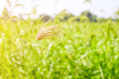 Grass flower. Sun shining to a grass flower with the green background stock photos