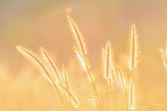 Grass flower and sunlight. Used to background Royalty Free Stock Image
