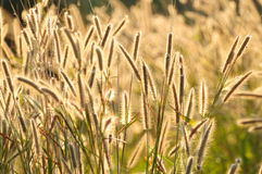 Grass flower and sunlight. Used to background Royalty Free Stock Photos