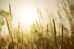 Grass flower with sunlight. Background Royalty Free Stock Photo