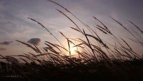 Grass flower on sunrise stock footage