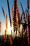 Grass flower. Sunrise on the summer with meadow grass Royalty Free Stock Photography