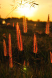 Grass flower on sunset. On background Royalty Free Stock Images