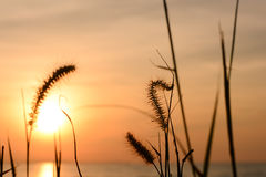 Grass flower with sunset background. Sunset/grass flower with sunset background stock photo