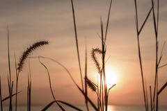 Grass flower with sunset background. stock image