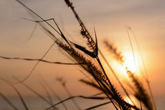 Grass flower with sunset background. royalty free stock photography