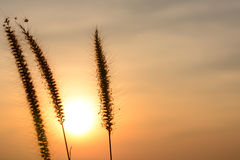 Grass flower with sunset background. royalty free stock images