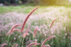 Grass flower on sunset background. Close up of grass flower on sunset background Stock Photography