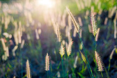 Grass flower in the sunset Stock Image