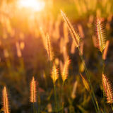 Grass flower in the sunset Royalty Free Stock Photo