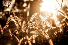 Grass flower with sunset in evening time Royalty Free Stock Photos