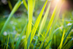 Grass flower and sunset Stock Photo