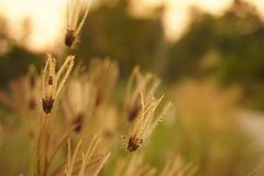 grass flower on sunset soft blur nature background Royalty Free Stock Image
