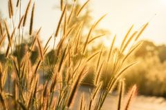 Grass flower with sunset or sunrise background Stock Images
