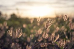 Grass flower at sunset time Shallow DOF. Grass flower at sunset time at sunset royalty free stock images
