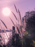 Grass flower at sunset Royalty Free Stock Image