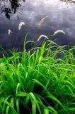 Grass flower beside swamp stock image
