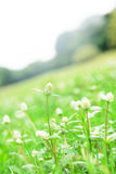 Grass flower Royalty Free Stock Photography