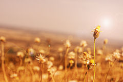 grass flower under sun flare Royalty Free Stock Photography