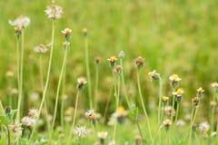 Grass flower beside the way. Stock Photos