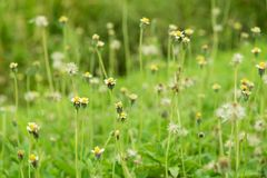 Grass flower beside the way. Royalty Free Stock Photography