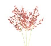 Grass flower Stock Image