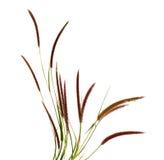 Grass flower. On white background Stock Photos