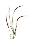 Grass flower. On white background Royalty Free Stock Photos