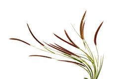 Grass flower. On white background Royalty Free Stock Photo
