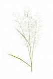 Grass flower on white isolate background. Royalty Free Stock Photography