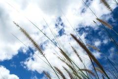 Grass flower in wind / blue sky background. Grass flower in wind and blue sky background royalty free stock photo