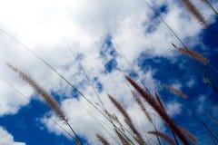 Grass flower in wind / blue sky background. Grass flower in wind and blue sky background stock image
