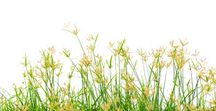 Grass flowering Stock Photos