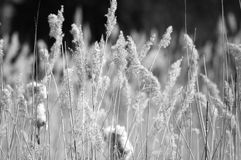 Grass. Flowering grass in field, monochrome Royalty Free Stock Images