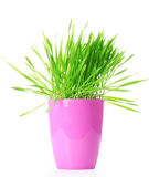 Grass in  flowerpot Stock Image