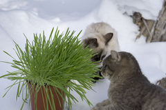 Grass in a flowerpot. Cat eating grass useful Royalty Free Stock Images