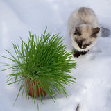 Grass in a flowerpot. Cat eating grass useful Stock Images