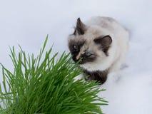 Grass in a flowerpot. Cat eating grass useful Stock Photo