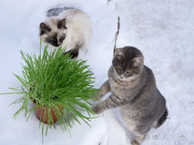 Grass in a flowerpot. Cat eating grass useful Royalty Free Stock Image