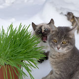 Grass in a flowerpot. Cat eating grass useful Royalty Free Stock Photo