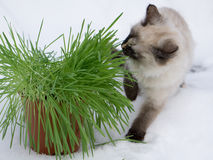 grass in a flowerpot. Cat eating grass useful Royalty Free Stock Photography