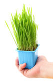 Grass in flowerpot with human hand Stock Photo