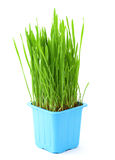 Grass in flowerpot Stock Image