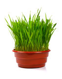 Grass in flowerpot isolated on white Royalty Free Stock Photos