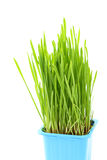Grass in flowerpot Royalty Free Stock Images