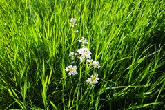 Grass and flowers Royalty Free Stock Photos