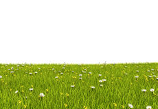 Grass and flowers. Daisies in the grass with white background Royalty Free Stock Photos