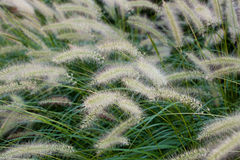 Grass flowers Stock Photography