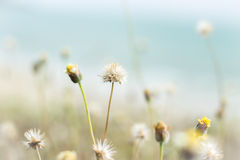 Grass flowers Royalty Free Stock Images