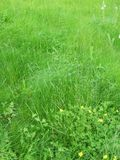 Grass and flowers. It is midsummer, the grass grow high and small wild flowers grows aong the grass stock photography